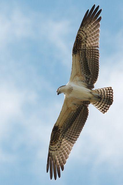 Sanibel Island: Soaring Osprey