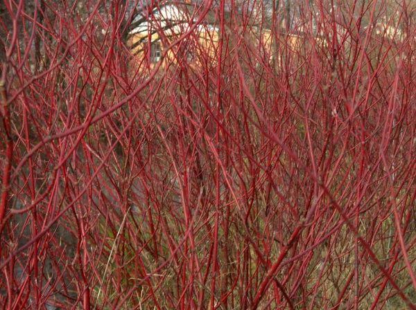 дерен красноствольный Дёрен белый сибирский (cornus alba sibirica), свидина - правильный выбор кустарника для живой изгороди, красивой и практичной, растущей без ухода, под стрижку или с раскидистой кроной, для любого типа почвы. Декоративен в любое время года.