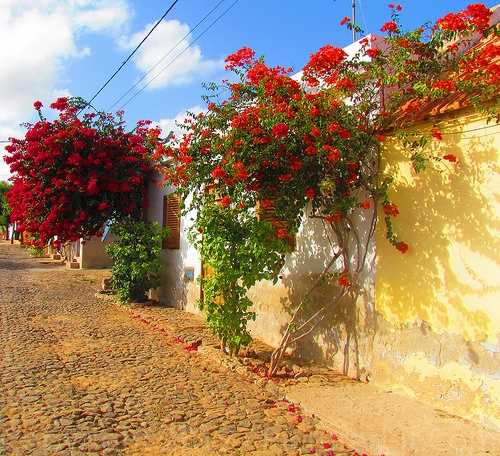 "Cape Verde | ""Cape Verde - Flowers"" by PicturedIt"