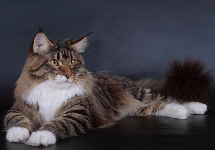 #MaineCoon #Black #Tabby #Blotched #White #Brown #white #Cats