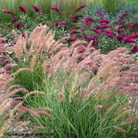 7 best fountain grass images on pinterest ornamental for Fast growing ornamental grass