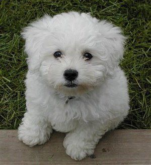 toy poodle puppies white - existing toys