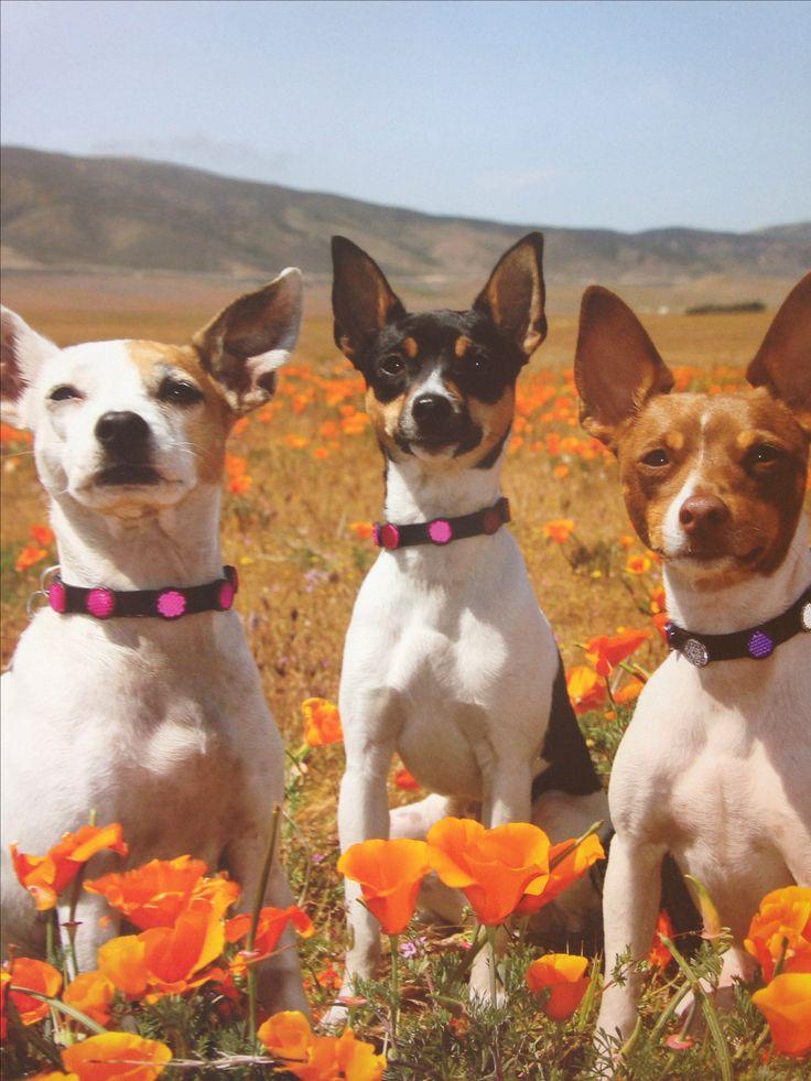 Gorgeous Rat Terriers