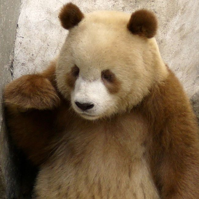 Qizai is a rare Qingling panda. How rare? Qizai, whose brown-and-tan coat makes him look more like a chocolate chip cookie than the typical Oreo panda coloring, is only the seventh brown giant panda spotted in the last 25 years.