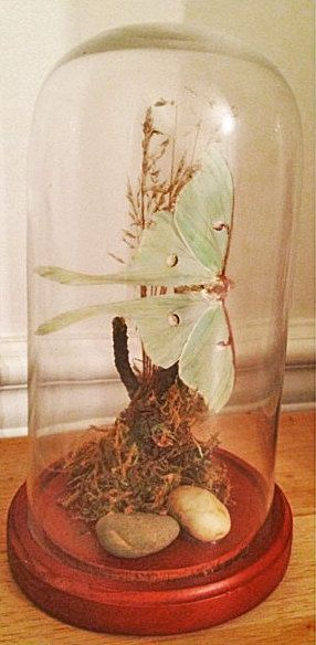 Luna Moth Small Glass Dome Taxidermy Display by SowaStreet on Etsy, $45.00