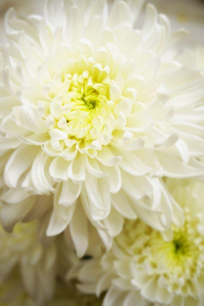 White Chrysanthemum by Tai Pasaraporn M on 500px