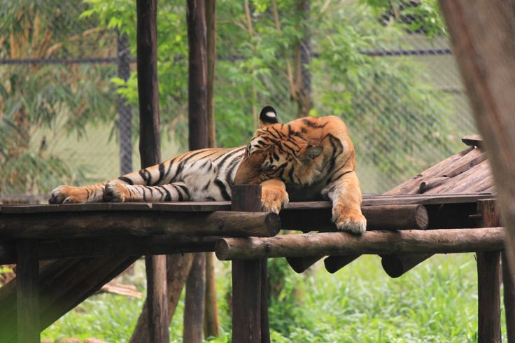 Tiger resting at Mysore zoo