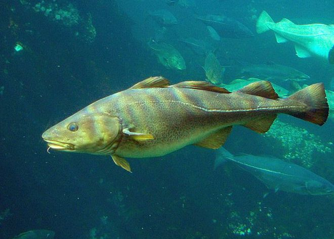 10 best images about cod on pinterest san juan islands for Benefits of cod fish