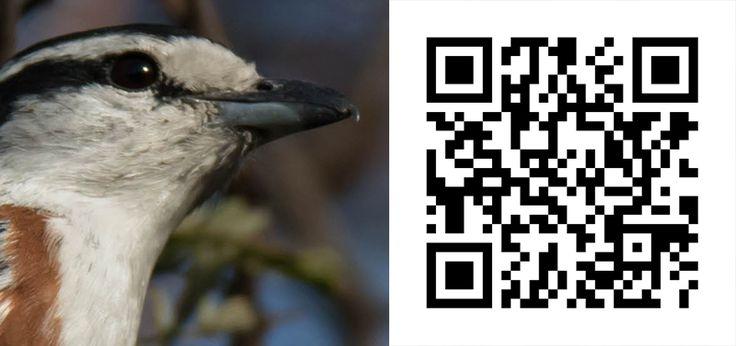 Guess the Bird 42 http://birdwatcher.co.za/guess-the-bird-42/