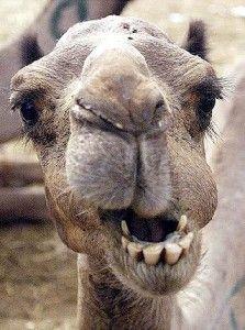 """[Curiosità] A CERVIA-MILANO MARITTIMA AVEVAMO ANCHE IL CAMMELLO!  Nel lontano 1962 inaugurò il Parco Naturale di Cervia. Come sapete, anche oggi oggi animali molto diversi tra loro, come cavalli, capre, pecore, galline, pavoni, volatili, mucche. Ma attualmente non ospita animali """"esotici"""".  #hotelpalmadoro #hotelpalmadorocervia #vacanze #vacanzealmare #vacanzeacervia #emiliaromagna #maximumsocial #stagione2017"""