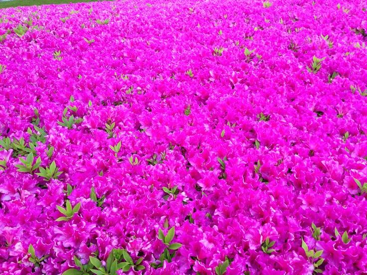 azalea carpet -ikebukuro