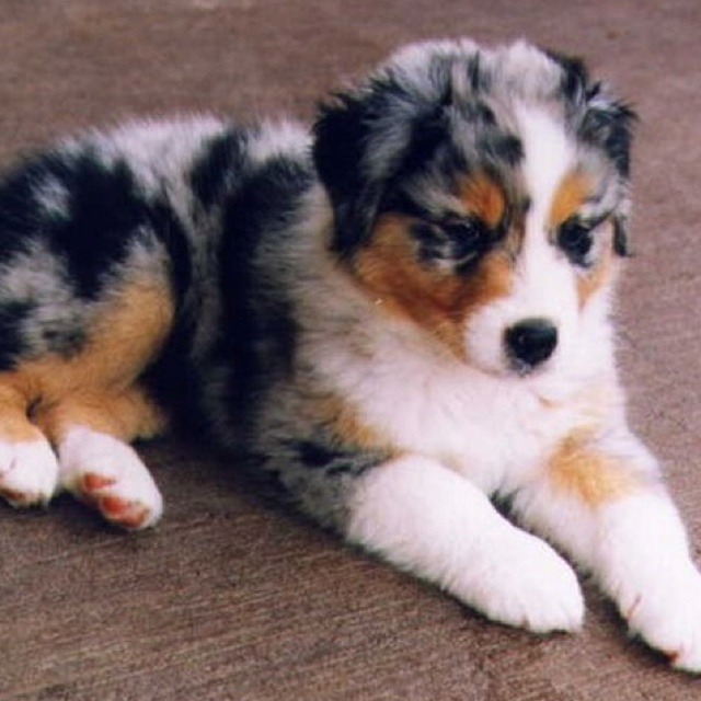 Adopt a miniature australian shepherd and name is august.