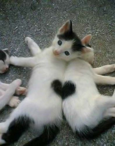I used to have a little guy that looked JUST like these kitties, he even thad that heart spot <3