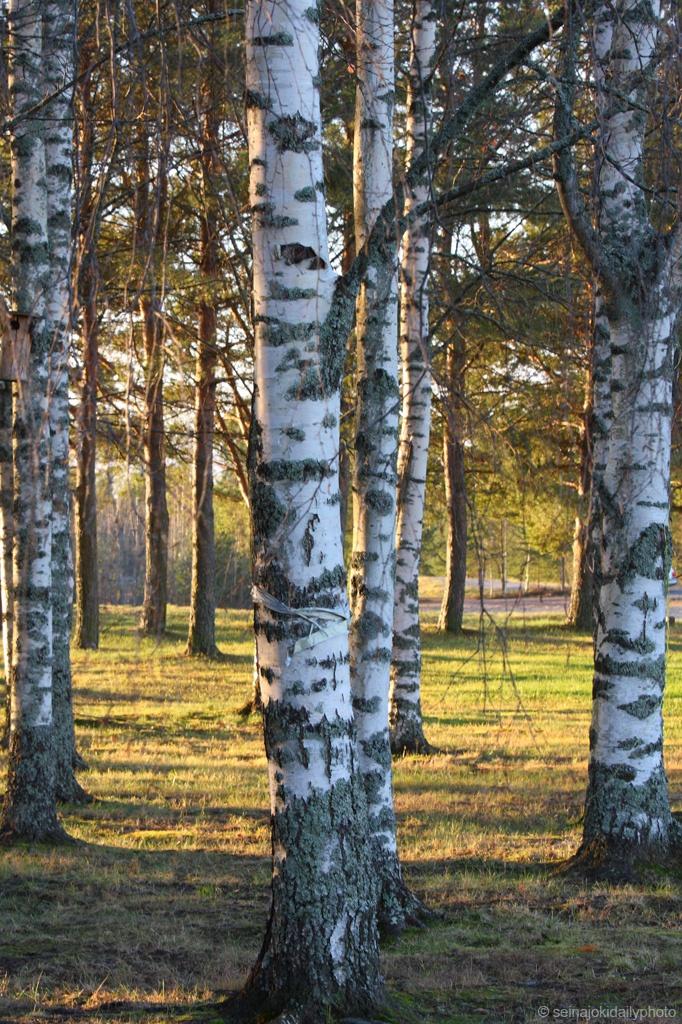 Some birches standing together. seinajokidailyphoto.blogspot.com