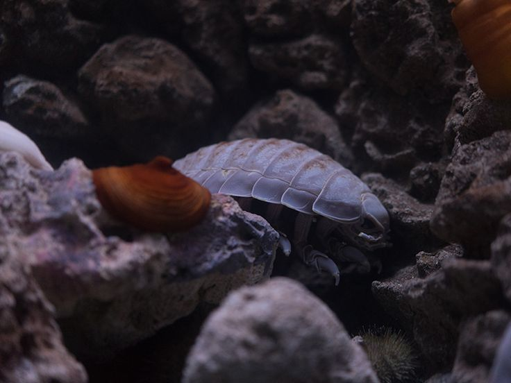 If you've ever sat outside on a hot summer day, you've likely seen a pill bug walking around. They have several names: roly poly, potato bugs, doodle bugs, etc. What about their oceanic counterparts? Those have only one name, the Giant isopod. Learn all about them on out blog!
