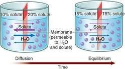 The diffusion of gases through the respiratory membrane is essential to normal respiration. The rapidity and ease with which oxygen and carbon dioxide are diffused through the membrane are affected by the thickness of the membrane and its surface area, the diffusion coefficient of the gas in the water within the membrane, and the difference between the partial pressures of the gases in the alveoli and the blood.