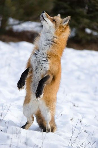 Red Fox Standing on Hind Legs, Minnesota, USA