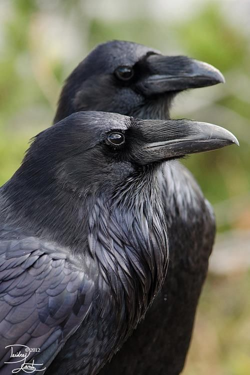 """In Norse mythology Huginn (from Old Norse """"thought"""") and Muninn (Old Norse """"memory""""or """"mind"""") are a pair of ravens that fly all over the world, Midgard and bring the god Odin information.      In Irish mythology ravens are associated with warfare and the battleground in the figures of Badb and Morrígan. The goddess An Morrígan alighted on the hero Cú Chulainn's shoulder in the form of a raven after his death."""