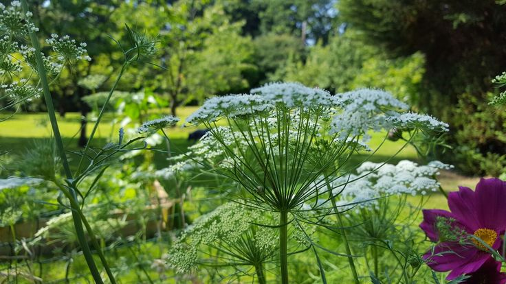 Ammi Majus and Cosmos here, with their lovely view of the garden. I often sit by my flower beds on the farm with the dogs, such a relaxing place for us all.