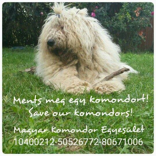 #KomondorFajtamentés-Rescue #komondorRescue