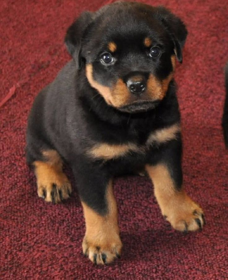 Rottweiler Puppy in Colorado Look at those paws so damn cute   http://dogculture.net/dogs-for-sale/outstanding-german-rottweiler-puppies-404.htm