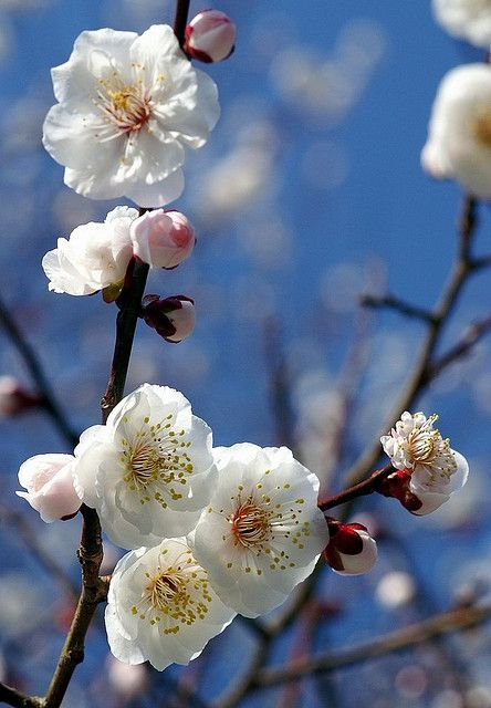 Japanese apricot blossoms, Kyoto Gyoen National Garden