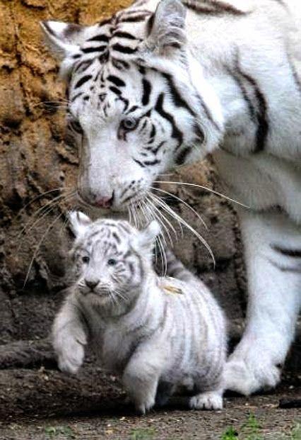 Les tigres blancs, espèce magnifique et menacée