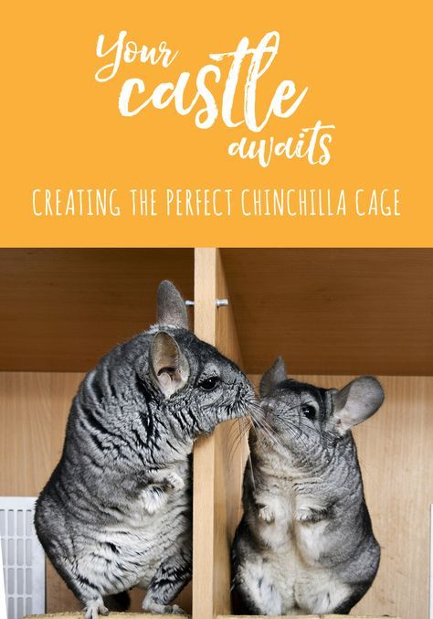 Chinchillas' houses need to be FULL of safe activities. See hints and tips on how to make your chin super happy! https://smallpetselect.com/chinchillas/chinchilla-cage #chinchillas #smallpetselect