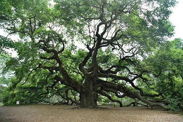 Angel Oak is a Southern live oak tree located in Angel Oak Park, on Johns Island, South Carolina