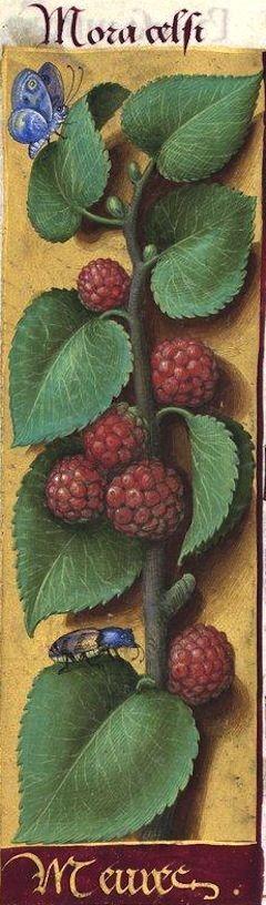 Meures - Mora celsi (Morus nigra L. = fruits du mûrier noir) -- Grandes Heures d'Anne de Bretagne, BNF, Ms Latin 9474, 1503-1508, f°137v