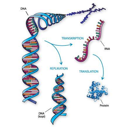 Det centrale dogme beskriver, hvordan DNA kopieres (replikation) eller aflæses til mRNA (transkription) for at blive oversat til protein (translation).