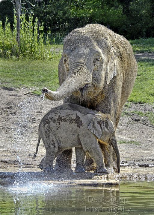 """""""Asian Elephants - Bath Time for Baby""""  #elephants  Visit our page here: http://what-do-animals-eat.com/elephants/"""