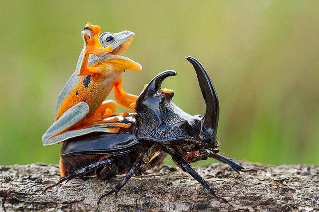 """""""インドネシアの写真家・Hendy Mpが撮影したもので、被写体のカエルは「レインワード・トビガエル」と呼ばれる準絶滅危惧種。"""""""