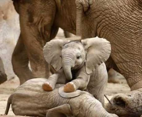 Playful baby elephants   <3