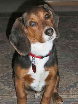 Beagle hound photo | Beagle Hound