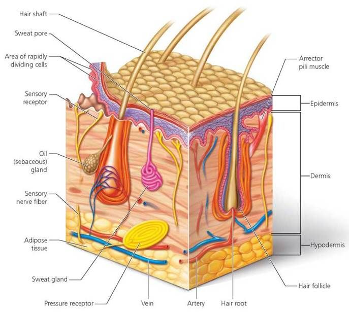 149 best integumentary system images on pinterest anatomy science and anatomy study. Black Bedroom Furniture Sets. Home Design Ideas