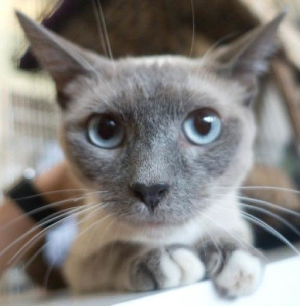 Charity Domestic Short Hair Siamese Cat For Adoption In Redwood City California Cat Adoption Cats Domestic Short Hair