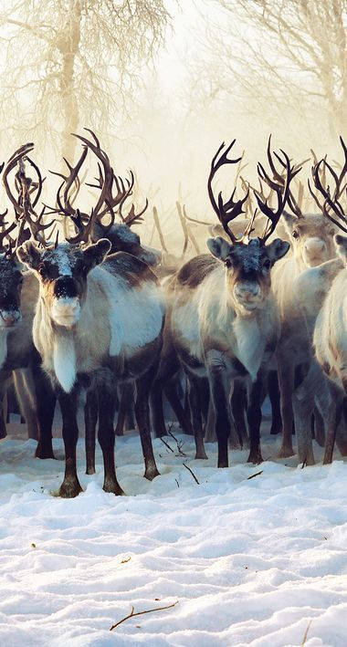 Caribou, also known as Reindeer, are found in northern regions of North America, Europe, Asia, and Greenland.