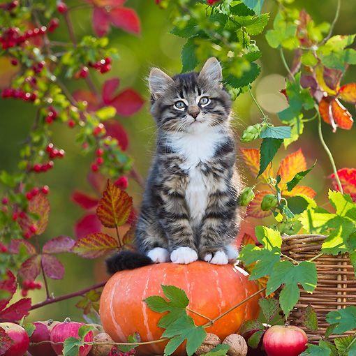 cat lynx autumn foliage - photo #25