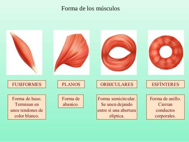 Músculos de la cabeza y cuello  Frontal  Nasal  Bucinadores  Orbicular de  los labios  Risorio  Digástrico Escaleno  Esternocleido...