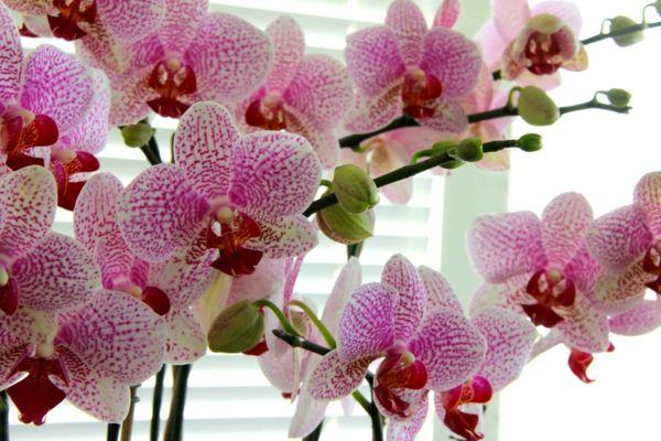 Verbreitet ist der Spaß im Bezug auf die Orchideen Pflegen,dass man wie diese Pflanze denken muss, damit man sich um sie passend kümmern kann.Das Erste, was