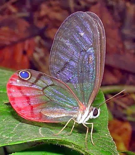 Biologia-Vida: Borboleta fantasma do paraíso / Paradise Phantom butterfly (Cithaerias phantoma)
