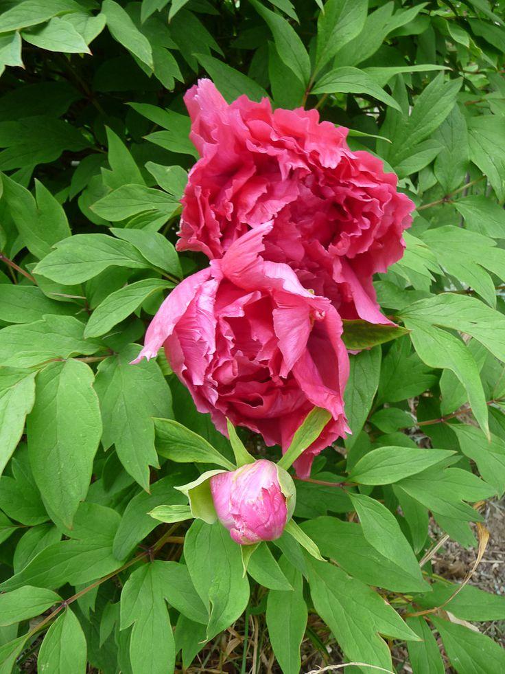 Les 25 meilleures id es concernant pivoine arbustive sur Fleurs pivoines