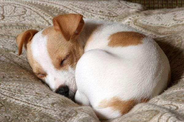 Sleeping jack russell puppy .... looks just like Khaleesi