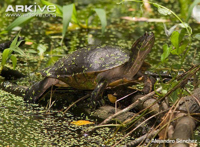 Cat Island freshwater turtle resting on log