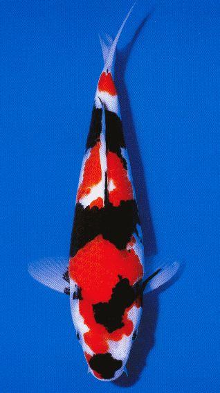 第35回全日本総合錦鯉品評会 幼魚総合優勝  国魚賞  昭和三色 渡邊 寿世 様