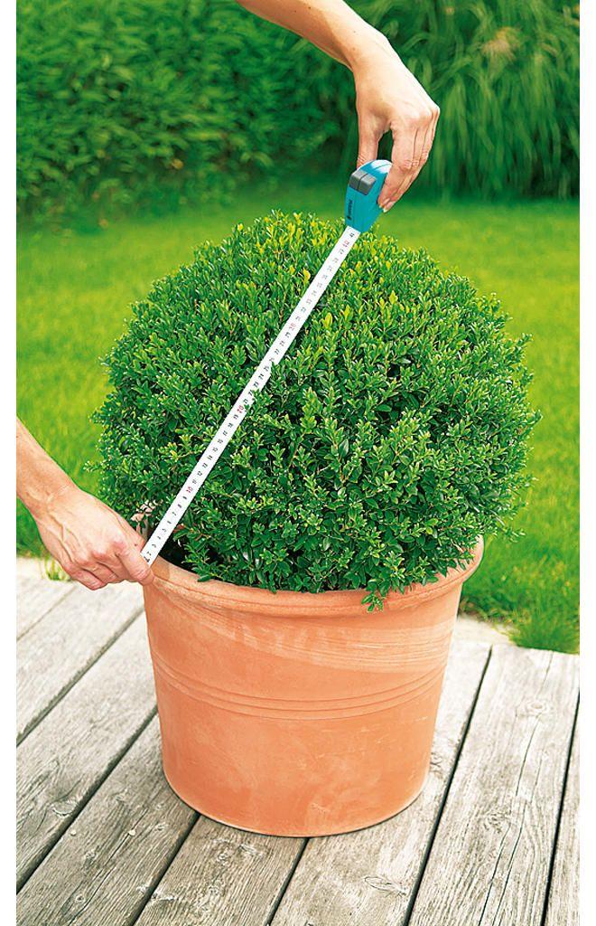Buchsbaum schneiden: Schritt 1 von 4