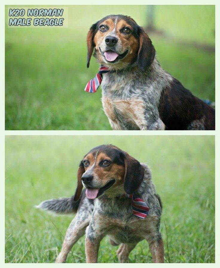 Norman is an adoptable Beagle searching for a forever family near Newville, PA. Use Petfinder to find adoptable pets in your area.