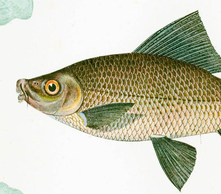 1932 Labeo Chrysophekadion. Carpe tropicale. Gravure Originale. Aquaculture. Pêche eau douce.  Ichtyologie Asie Pacifique Ocean Indien. de la boutique sofrenchvintage sur Etsy