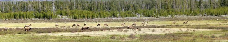 A herd of elk grazing in the northern part of Yellowstone.